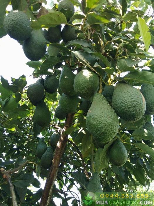 Cung cấp cây giống bơ Pinkerton (bơ pin)