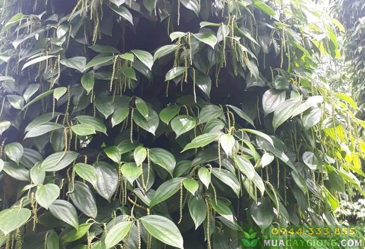 Hướng dẫn kỹ thuật trồng và chăm sóc cây tiêu