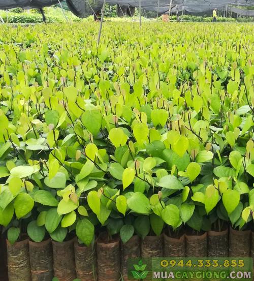 Bầu tiêu đạt tiêu chuẩn xuất vườn