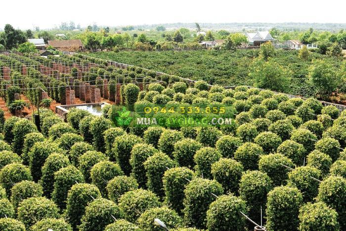 Các loại trụ trồng tiêu