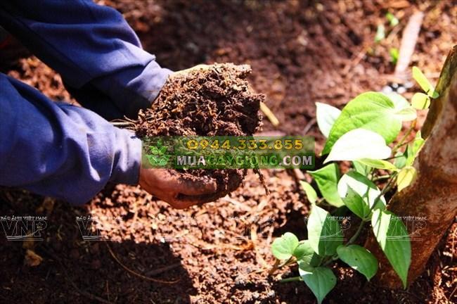 Cách trồng tiêu: Chuẩn bị đất trồng tiêu