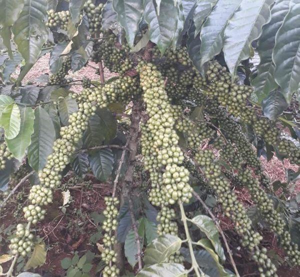 Hạt giống cà phê TR4 (Cà phê 138) 1