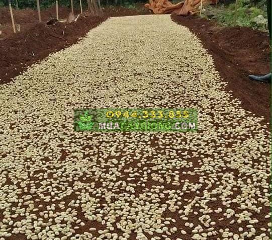 Bán hạt giống cà phê