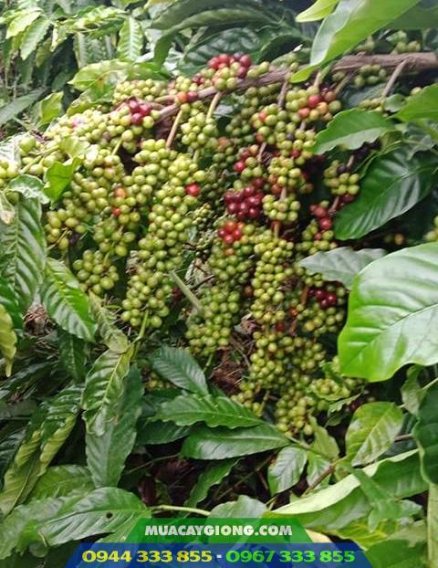 Cây giống cà phê TR9 (Giống cao sản viện Eakmat tuyển chọn)