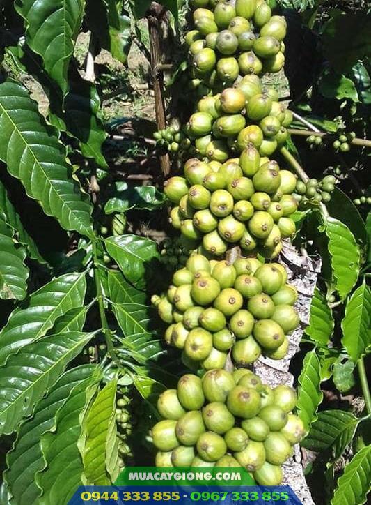 Cây giống cà phê thực sinh TRS1 (Cà phê vối lai cao sản viện Eakmat)