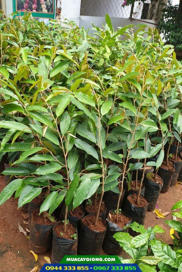 Cây giống sầu riêng thái gốc 1 năm