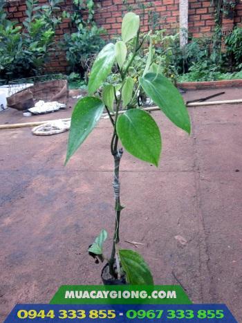 Hình ảnh tiêu vĩnh linh ghép gốc trầu rừng (tiêu rừng amazon)